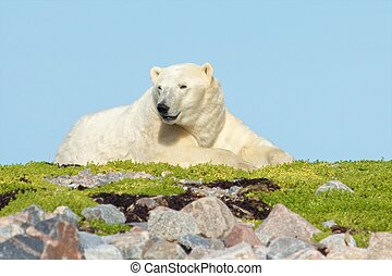 Polar Bear on a grassy knoll 5 - Lazy Canadian Polar Bear...