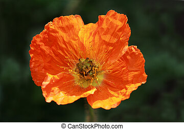 Orange papaver - Orange Papaver dubium
