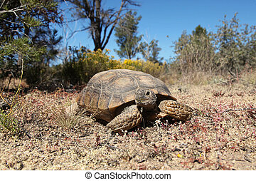 Desert Tortoise - a desert tortoise in the arizona desert