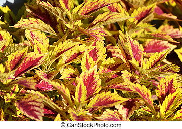 Coleus Plant - A vibrantly colored coleus plant in the...