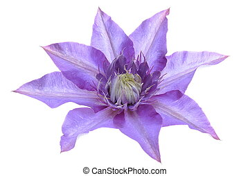 Clematis purple flower isolated on white background