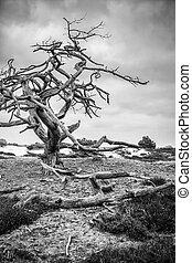 Dead tree in a Dutch  Mooreland