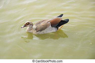 Wild duck swimming