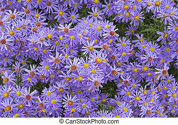 Aster flowers with small drops of water