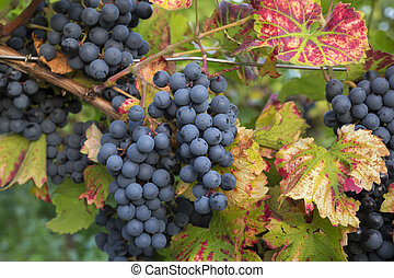 Red ripe grapes and leaves in Rhineland-Palatinate, Germany