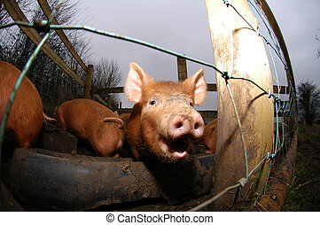 happy piglet - a happy tamworth piglet looking out of its...