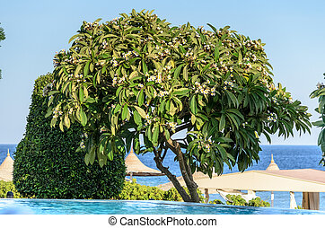 Tropical tree by the pool. Stock Photo