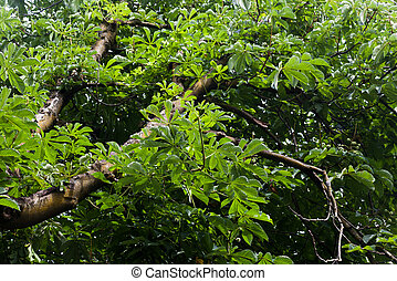 Aesculus chinensis, deciduous Tree, The seed is rich in...