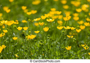 buttercup flower - Yellow buttercup flower for background