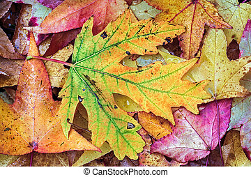 Intensely Colorful Fall Foliage - Photo features intensely...