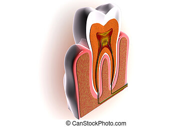 Teeth cross section