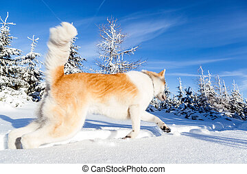 Dog on winter hiking in mountains. Sunset in white mountain...