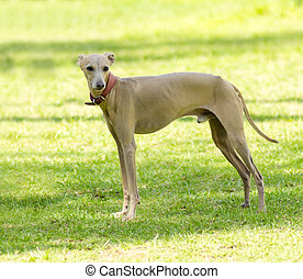 Italian Greyhound - A small fawn - brown italian Greyhound...