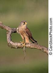 Kestrel, Falco tinnunculus, single male on branch with...