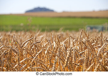 Grain field in the summer - View over a grain field in...