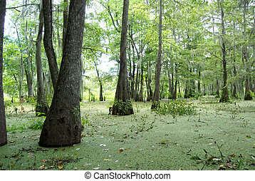 Swamp Bayou Trees - A swamp/bayou. Tiny green leaves cover...