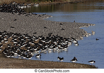 Knot, Calidris canutus, large flock in Norfolk with...