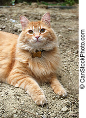 Orange Cat Outdoors - A beautiful Orange Main Coon cat...