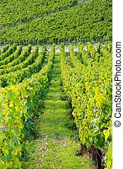 vineyards near Auxerre, vines of Burgundy( France)