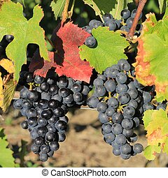 two wine grapes - Two black wine grapes with colored leafs...