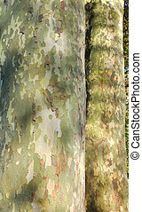 bark of sycamore - close on of the bark of sycamore