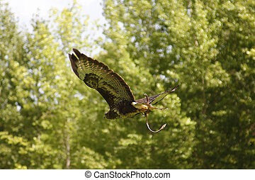eagle flying with green trees background