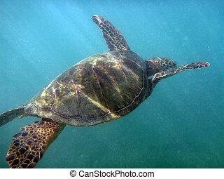 Hawaiian Sea Turtle swims the waters of Waikiki on Oahu,...
