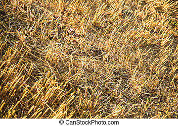 Harvested field background - Evening after the Harvest in...