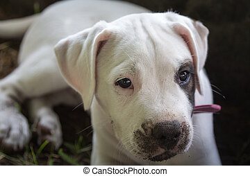 Dirty puppy lying on the ground. Dogo argentino.