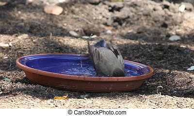 robin taking a bath - a robin refreshes itself on a hot day...