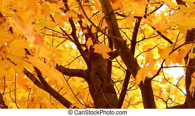 Autumn Maple Tree - Fall Maple Tree Leaves Blowing in the...