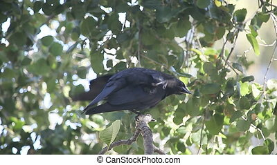 crow squawking, scratching - a crow has a persistent itch...