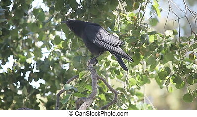 crow in a tree - a crow vocalizes while perched in a tree