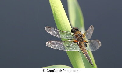 Dragonfly waiting