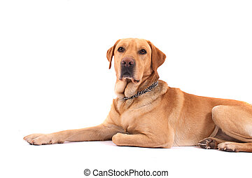 labrador - very nice labrador on the white background