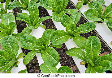 Romaine lettuce plantation in Hydroponics system