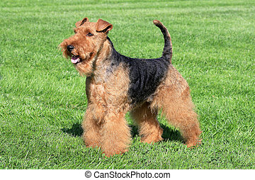 Typical Welsh Terrier in a summer garden - Welsh Terrier in...