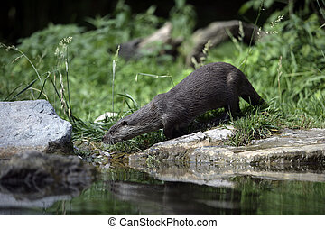 Otter, Lutra lutra, single mammal by water, captive...