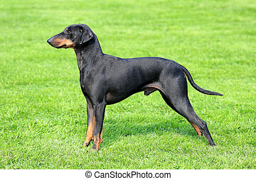 The typical black Manchester Terrier - The black Manchester...