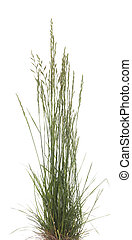 Festuca ovina - young tuft grass (Festuca ovina) on white...