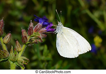 cabbage butterfly on a blossom