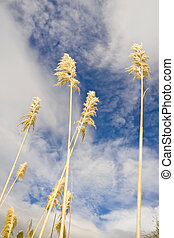 Pampas grass - Pampass grass or toi toi against cloudy blue...