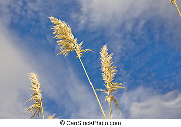 Pampas grass or toe toe against cloudy blue skies in New...