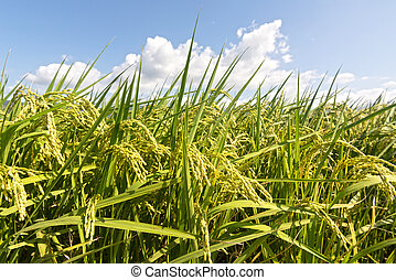 Rural scenery of paddy