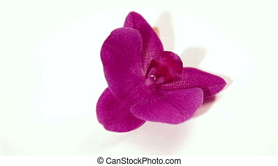 purple orchid rotate close up