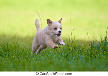 Puppy in full action - A Little 7 weeks old puppy jumps with...