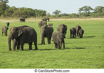 Elephants in Minneriya NP - A herd of Sri Lankan elephant...