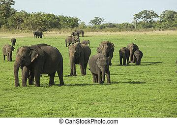 Elephants in Minneriya NP - A herd of Sri Lankan elephant...