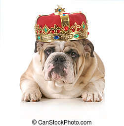 spoiled dog - dog wearing crown - english bulldog wearing...