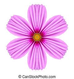Pink Cosmea Rose Flower Kaleidoscope Isolated on White -...